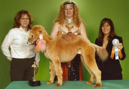 Disfrazado de camello
